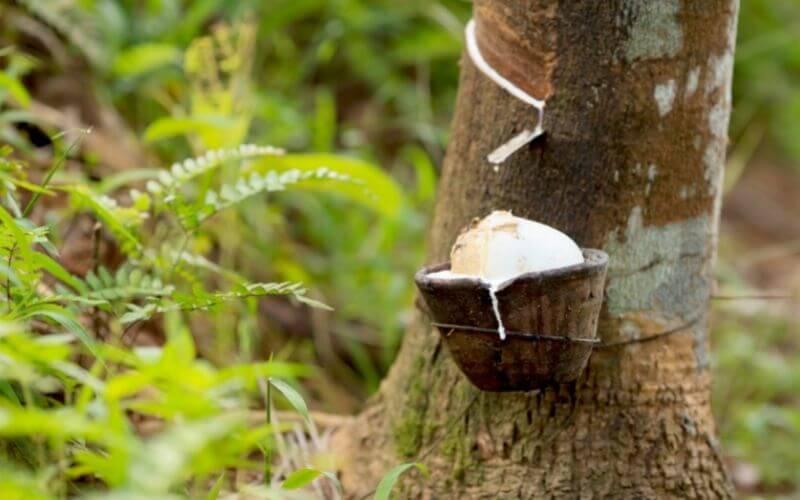 Drzewo kauczukowe - pozyskiwanie kauczuku.