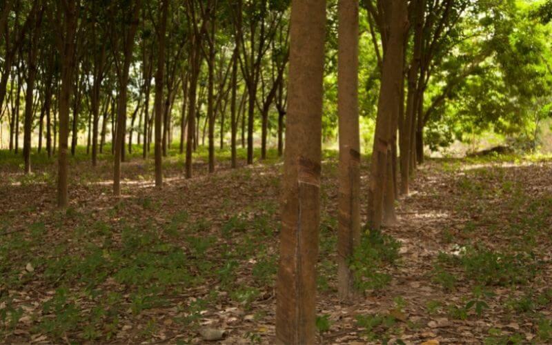Drzewo kauczukowe - las.